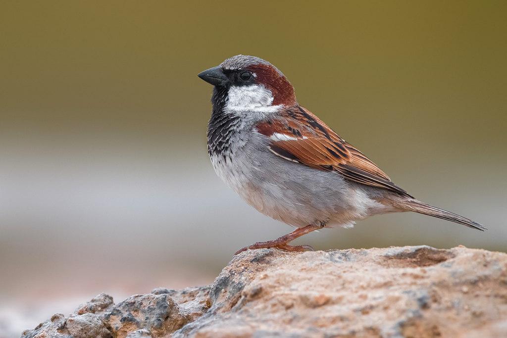 In den Begijnhof – vogelweekend met Natuurpunt: de huismus