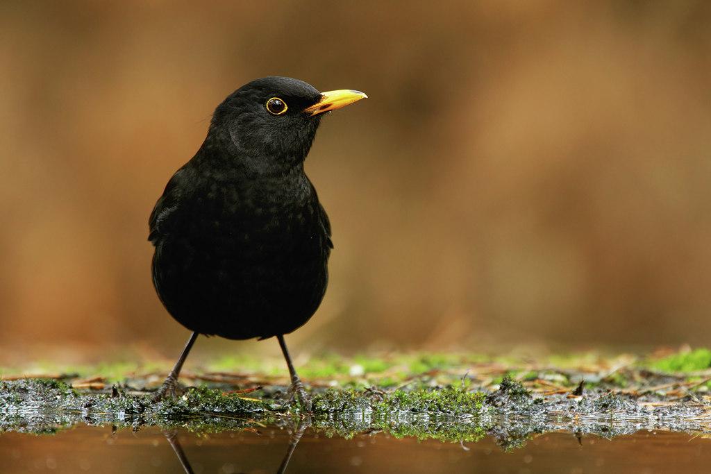 In den Begijnhof – vogelweekend met natuurpunt: de merel