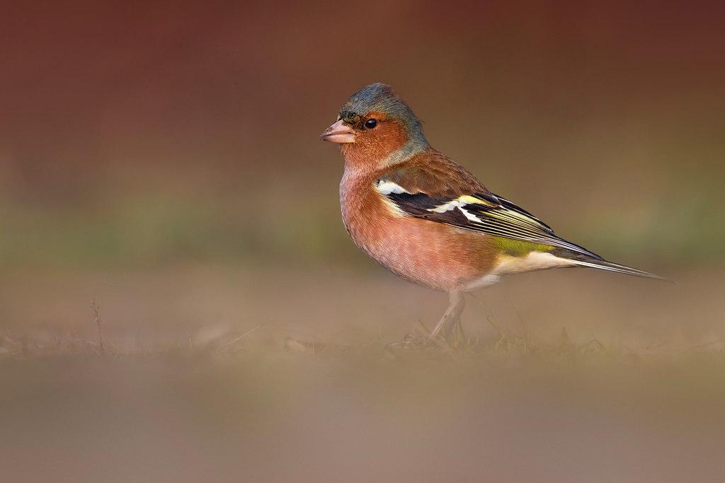 In den Begijnhof – Vogelweekend met Natuurpunt: de vink